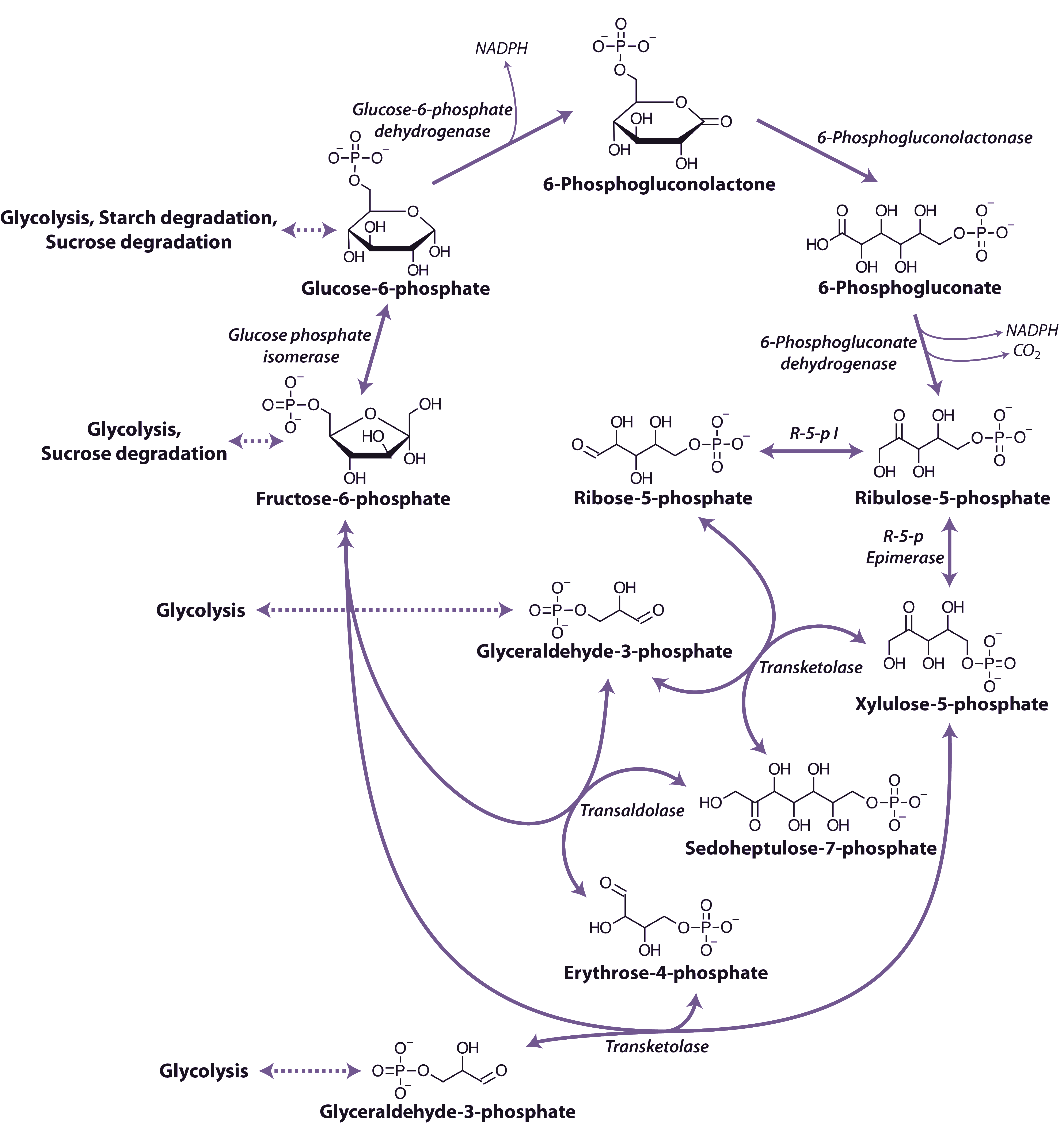 starch photsynthesis